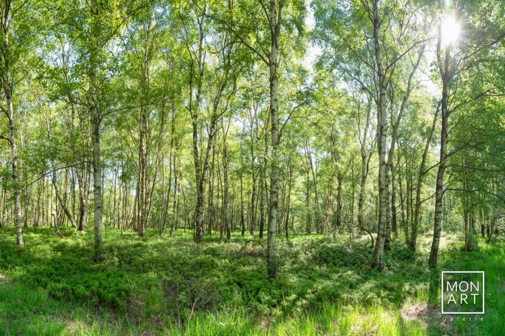 Birkenwald im Steinleyvenn